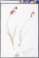 Cyperus rotundus image
