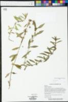 Diodia virginiana image