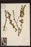 Betula nana image
