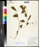Calystegia spithamaea image