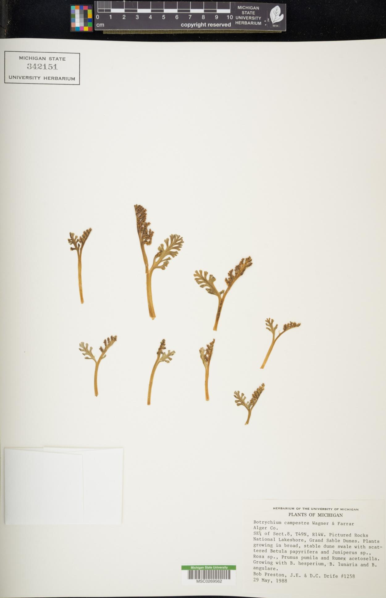 Botrychium campestre image