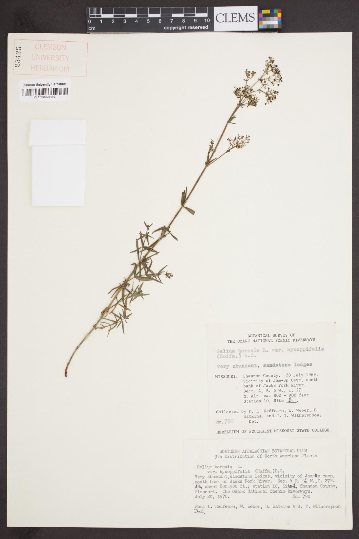 Galium boreale var. hyssopifolium image