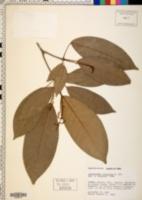 Image of Pseudosenefeldera inclinata