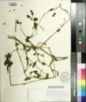 Solanum sarrachoides image