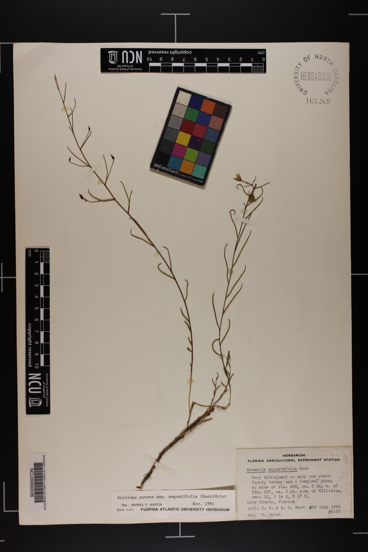 Stylisma patens subsp. angustifolia image