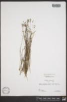 Juncus elliottii image