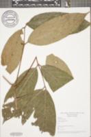 Image of Carapa guianensis