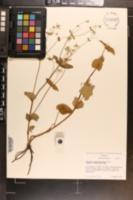 Eryngium ghiesbreghtii image