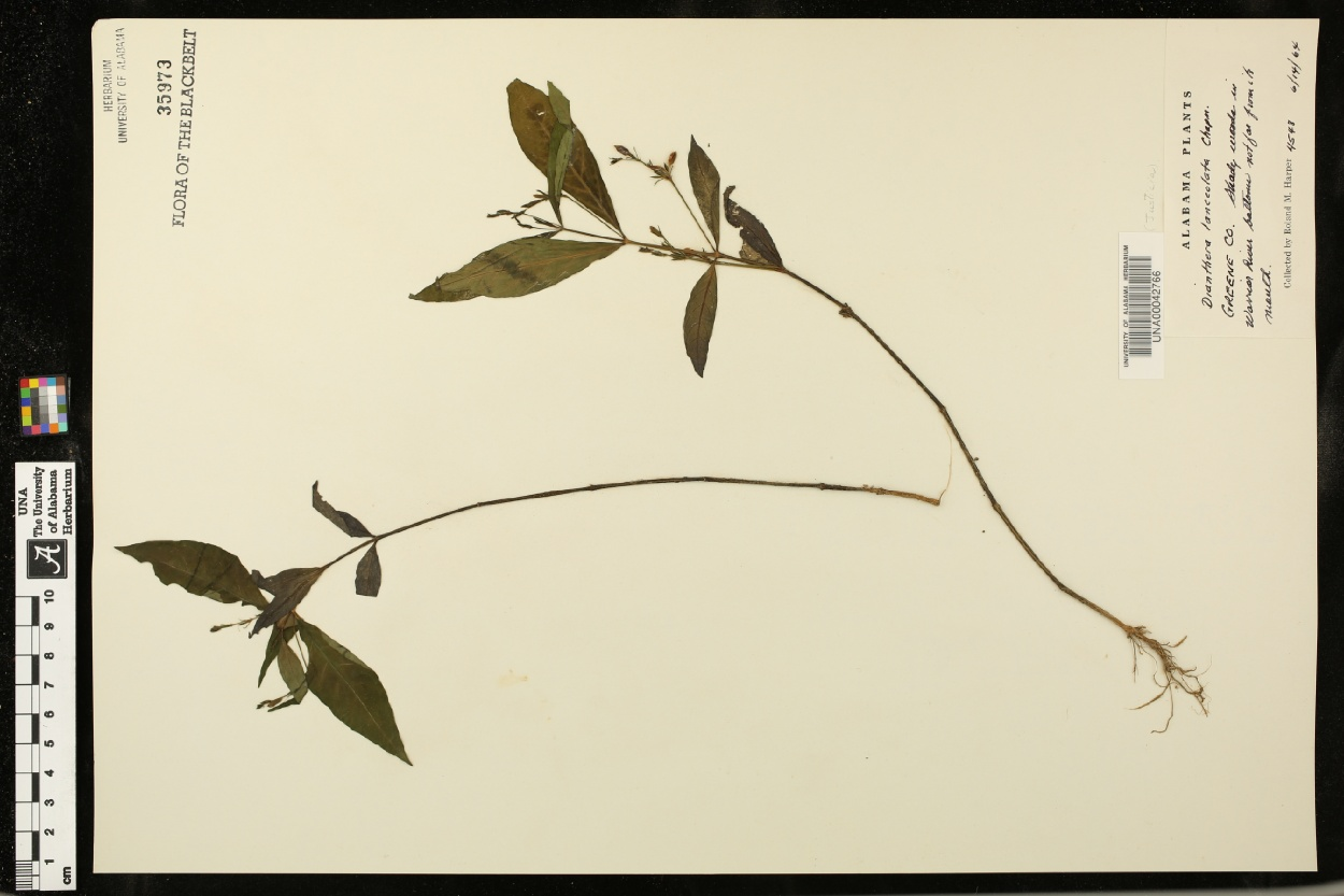 Dianthera lanceolata image