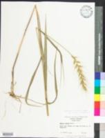 Elymus hystrix var. hystrix image