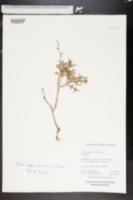Image of Galenia fruticosa