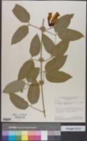 Image of Anemopaegma chamberlaynii
