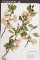 Image of Prunus speciosa