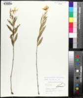 Oenothera pilosella image