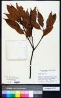 Image of Quercus acuta