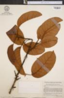 Image of Pouteria ucuqui