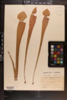 Image of Sarracenia areolata
