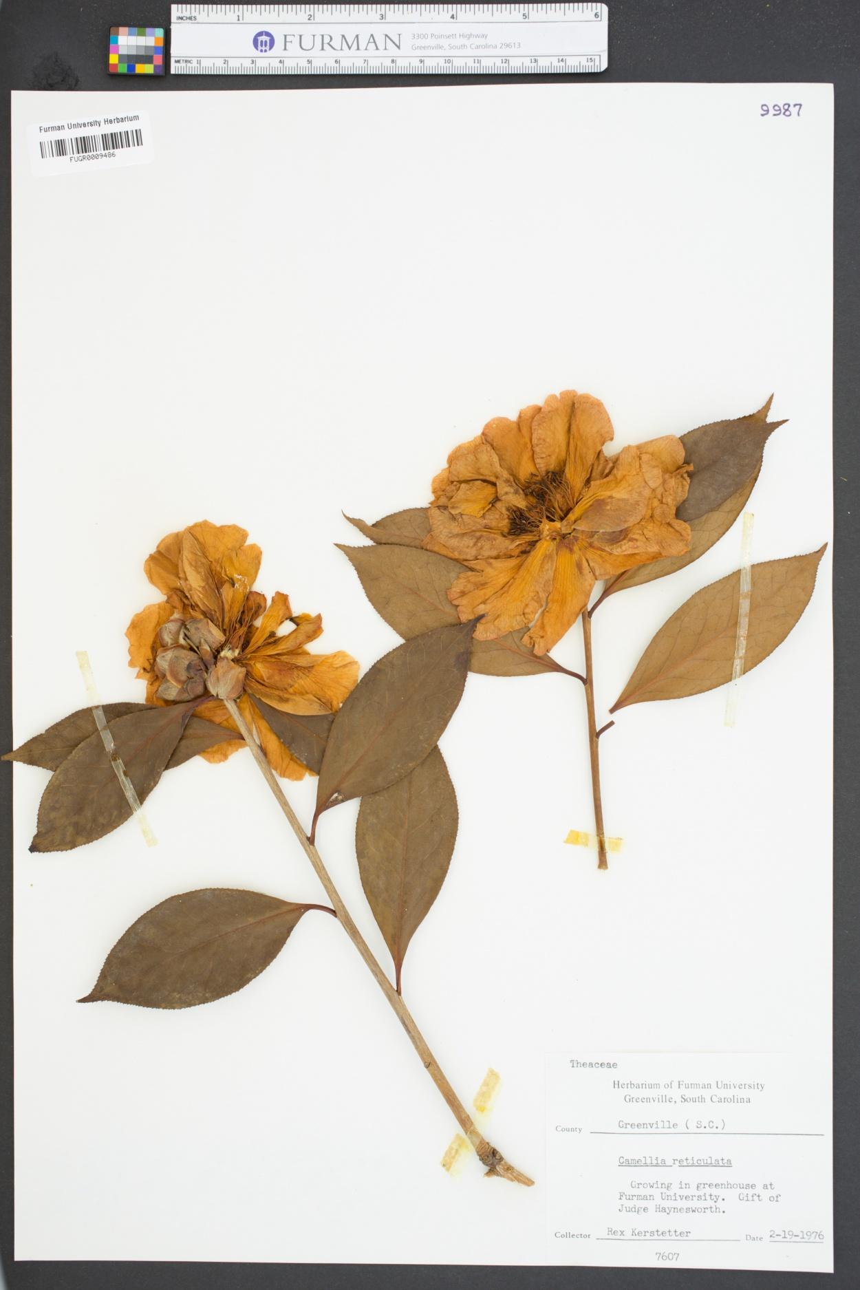 Camellia reticulata image