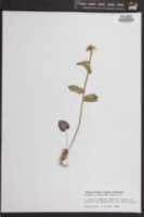 Cardamine rhomboidea image