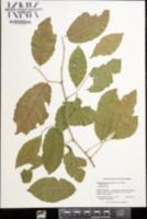 Image of Ruprechtia coriacea