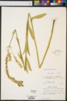 Physostegia denticulata image