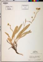 Haplopappus lanceolatus image