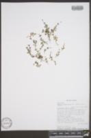 Houstonia micrantha image