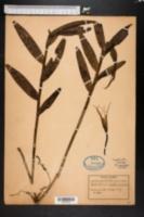 Image of Epidendrum nocturnum