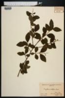 Ligustrum ovalifolium image