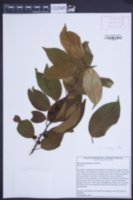 Image of Prunus pleuradenia