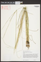 Aristida stricta image