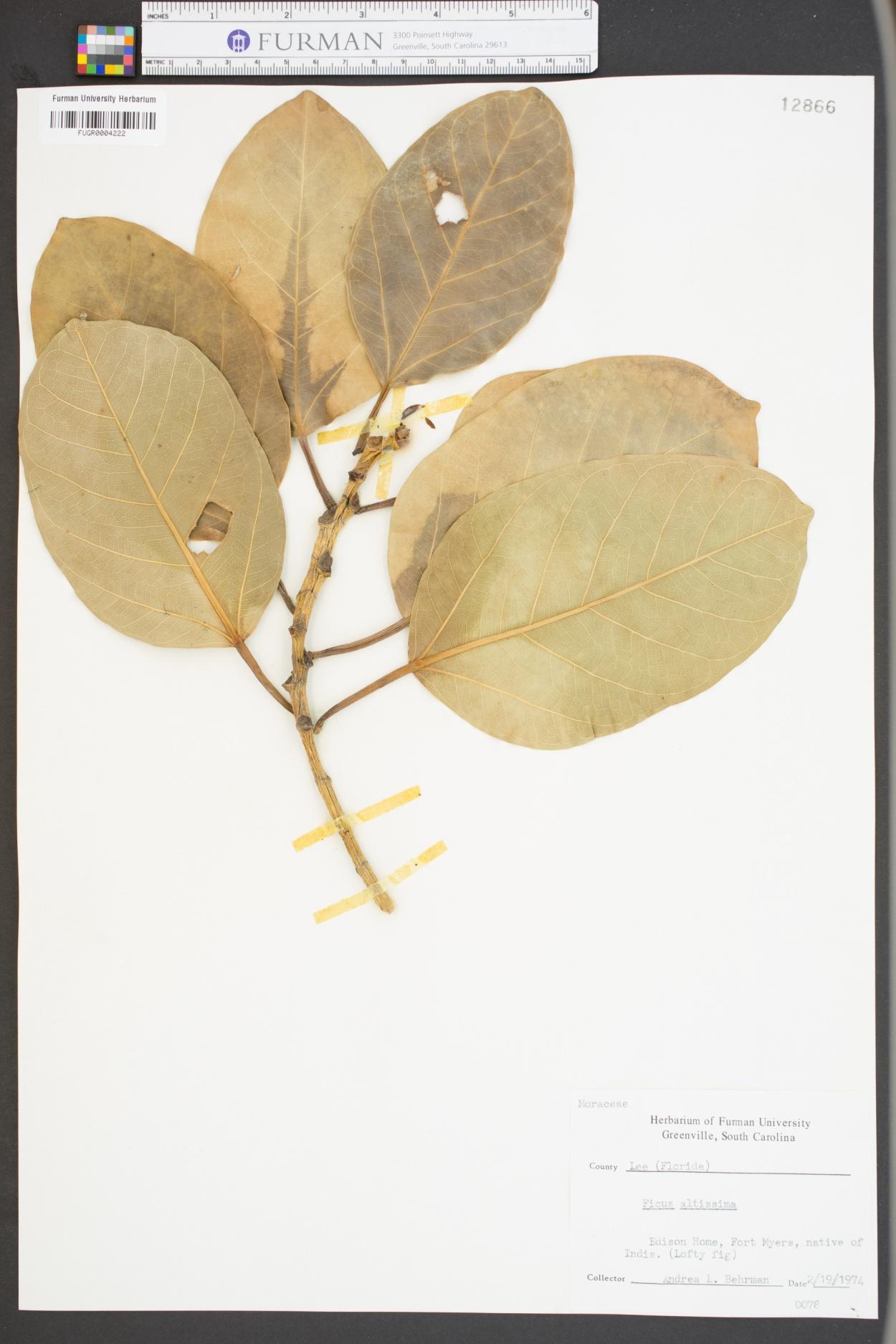 Ficus altissima image