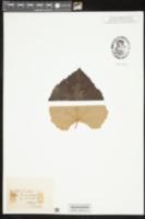 Image of Vitis mustangensis