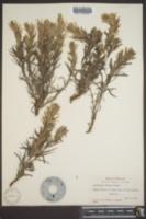 Castilleja citrina image