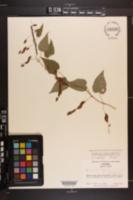 Dioscorea villosa var. hirticaulis image