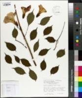 Image of Campsis grandiflora