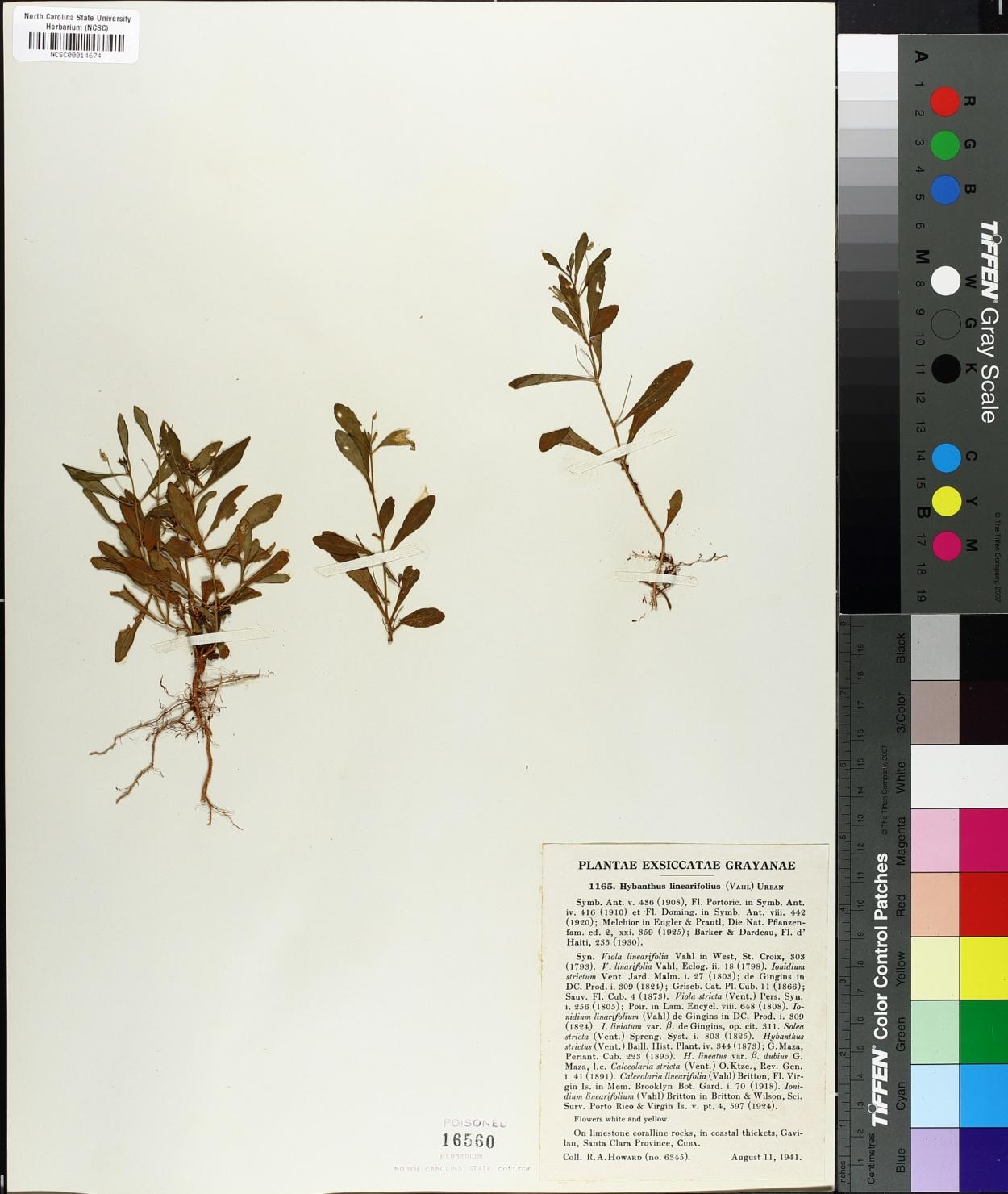 Hybanthus linearifolius image