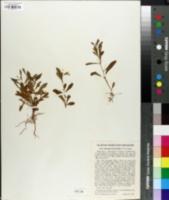 Image of Hybanthus linearifolius
