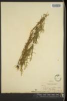 Image of Artemisia aromatica