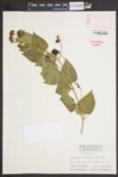 Image of Lantana ovatifolia