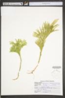 Dendrolycopodium hickeyi image