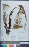 Image of Chrysopsis lanuginosa