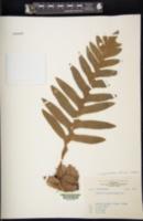 Image of Aglaomorpha fortunei