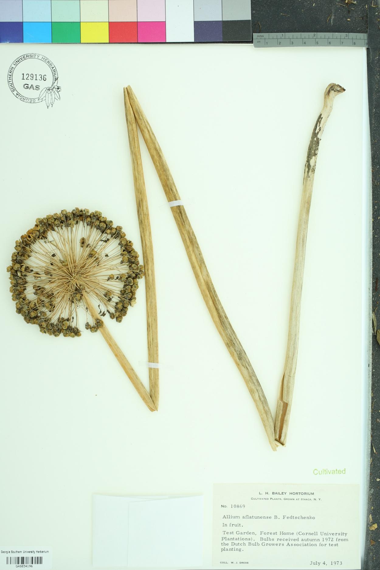 Allium aflatunense image