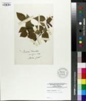 Image of Betula schmidtii