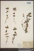 Houstonia montana image