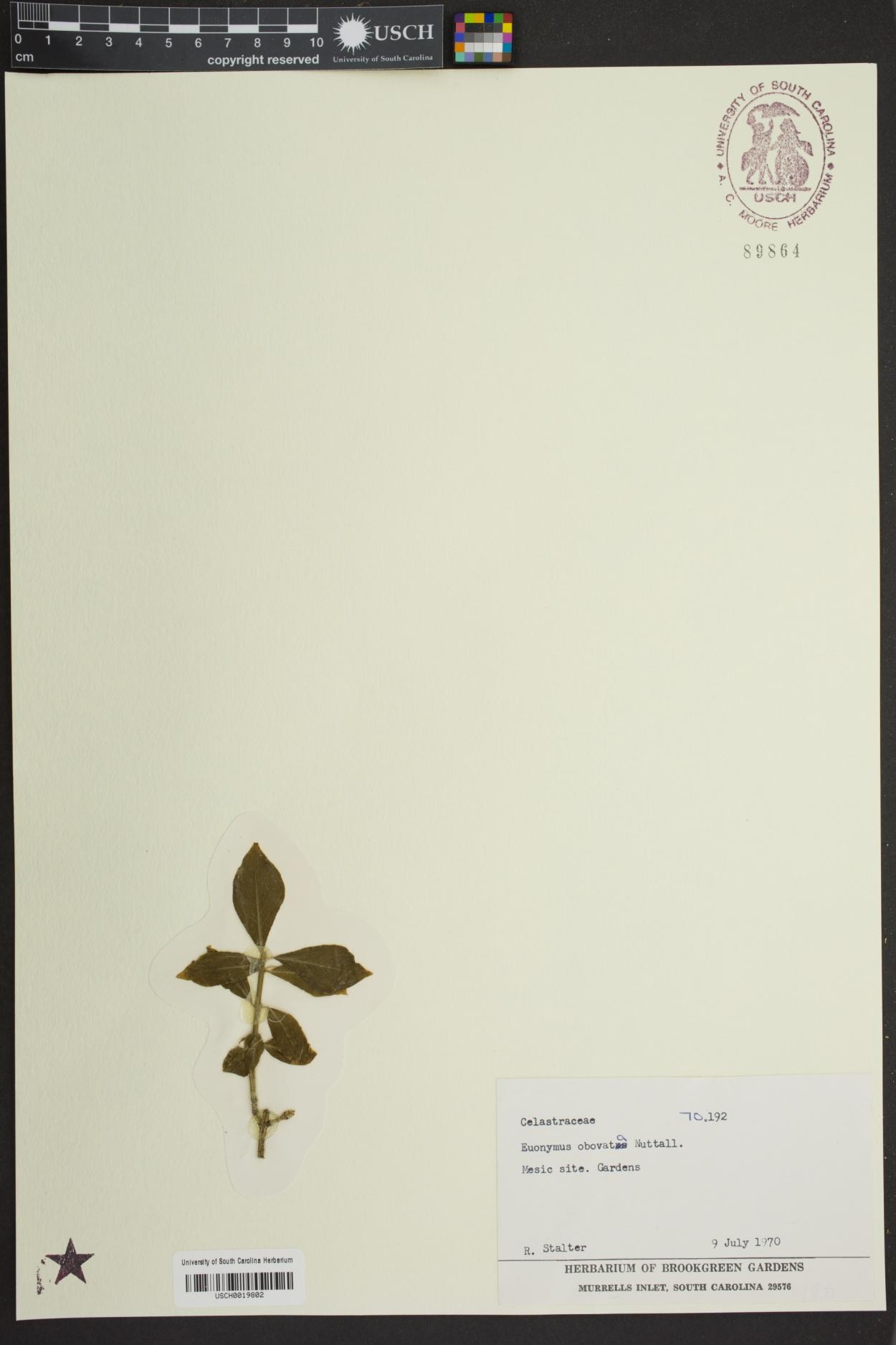 Euonymus obovata image