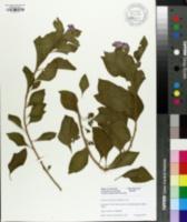 Solanum rantonnetii image