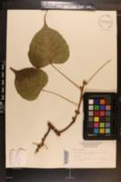 Ficus religiosa image