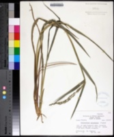 Image of Echinochloa paludigena